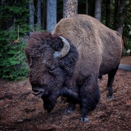 buffalo yellowstone NP