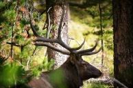 deer Yellowstone NP