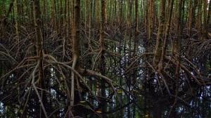 Mangroove